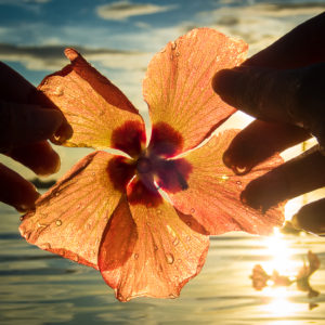 Hibiscus Flower at Sunset – fine art print